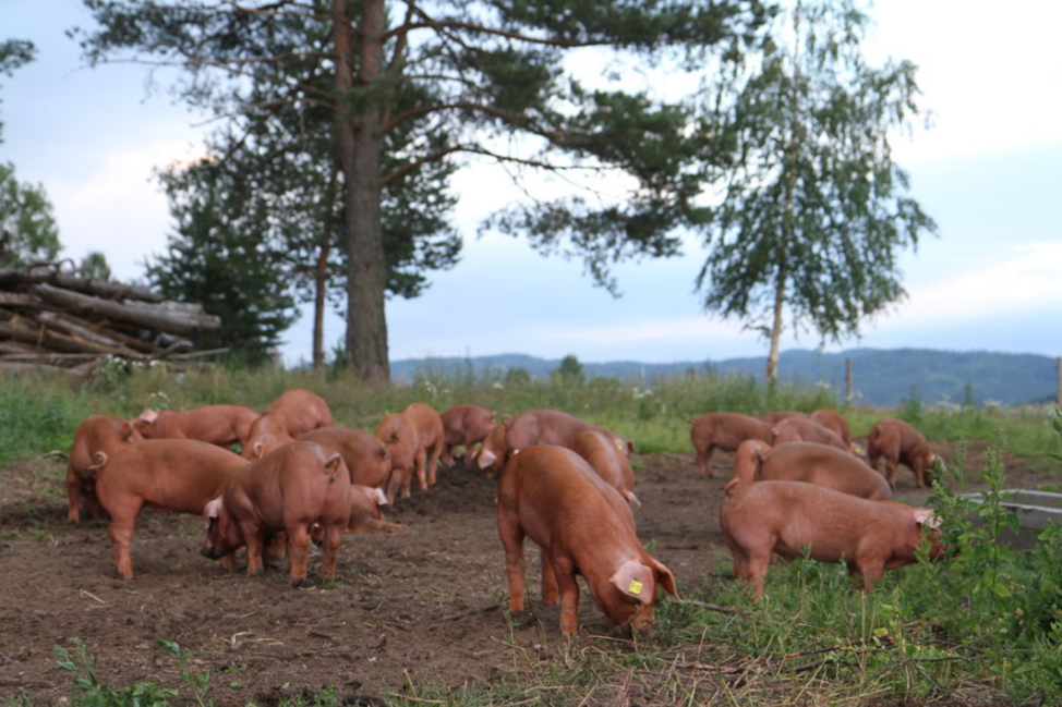 free range HappyPigs